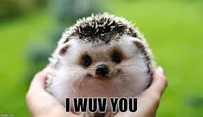 Cute I Love You Meme - photogenic hedgehog imgflip