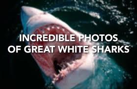 Great White Shark Attack Cape Cod - great white shark attacks kayaker off california coast sfgate