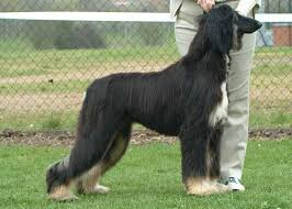 afghan hound racing uk showing activities the afghan hound association