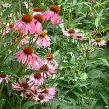 echinacea flower echinacea flower essence flower essences flower remedies