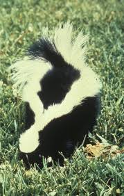 center for human wildlife conflict resolution skunk