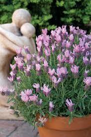 Fragrant Plants For Pots - 62 best plants for pots images on pinterest outdoor entertaining