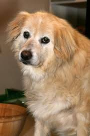 8 year old australian shepherd i found duncan on an as and in