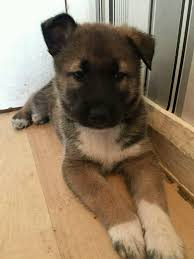 belgian malinois 10 weeks husky x belgian malinois puppies in houghton le spring tyne and