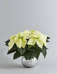 white poinsettia christmas white poinsettia globe m s