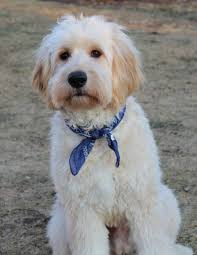 how to cut a goldendoodles hair goldendoodle haircuts monthsjust when i thought i couldn t love