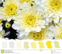 Beautiful Color Palettes by White And Yellow Mums Color Palette Royalty Free Stock Images