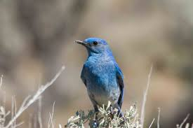 mountain bluebird this is the woolwine house bluebird trail