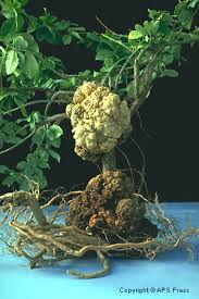 Diseases Caused By Protozoa In Plants - bacterial diseases of plants ohioline