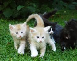 feline leukemia virus pethelpful