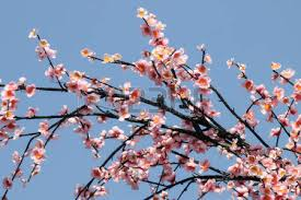 flowers tiger or cherry blossoms flowers in flowering
