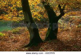 autumn beech trees bolderwood arboretum ornamental drive near