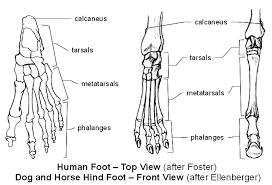 Internal Dog Anatomy Emg Zine Basic Animal Anatomy