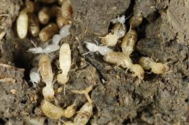 Winged Termites In Bathroom Termite Treatments For Inside And Around The Home