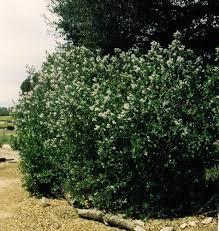 planting a native hedge ceanothus arboreus tree lilac