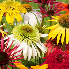 echinacea flower echinacea color showtime mix k bourgondiens