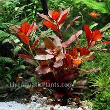 native aquarium plants echinodorus u0027red flame u0027 rare amazon sword live aquarium plants