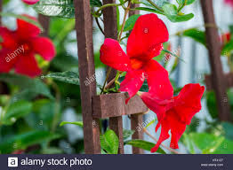 red mandevilla stock photo royalty free image 135312975 alamy