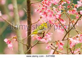 japanese white eye in cherry blossom tree side view stock photo