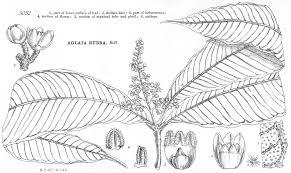 angiosperm families meliaceae juss