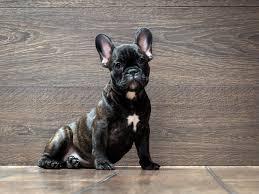 french bulldog dog breed information fun facts and faq u0027s 2017