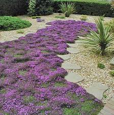creeping thyme just bought some today can t wait to plant it in