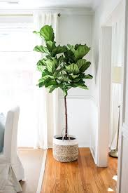 how to grow fiddle leaf fig and care fiddle leaf fig fiddle