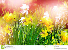 spring landscape beautiful spring flowers daffodils stock photo