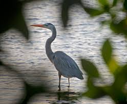 Heron Meaning by Keys Voices Key Largo Keys Voices