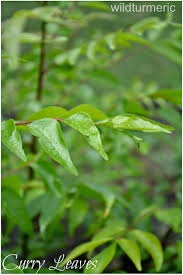 curry tree herb murraya koenigii 42 best curry leaf plant images on pinterest curry leaves