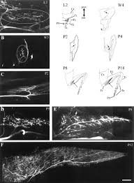 presynaptic function during muscle remodeling in insect