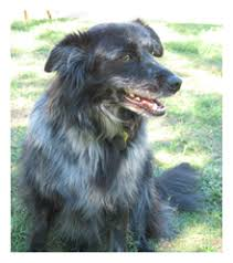 australian shepherd qld what breed of dog is lydia guess and win