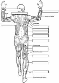 human muscles of the body coloring page for kids human anatomy chart