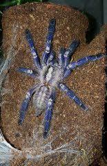 poecilotheria metallica the gooty sapphire ornamental tarantula