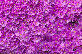 purple flowers wall of purple flowers stock image image of 31487131