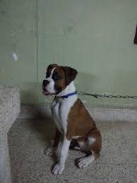 boxer dog price boxer dogs transportation services