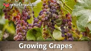 Grape Trellis For Sale Bare Root Table Grape Vine Red Globe Groworganic Com