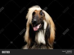 afghan hound dog images close up headshot of afghan hound fawn dog happy looking up with