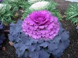 30 purple prince flowering kale flower seeds ebay