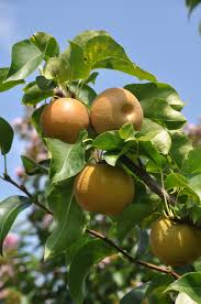 native plants of pakistan best fruit trees for virginia u0027s piedmont cville foodscapes