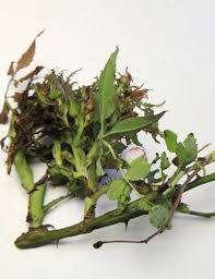 Symptoms Of Viral Diseases In Plants - 83 best rose rosette disease images on pinterest rosette disease