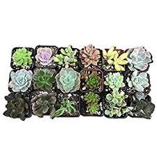 amazon succulents amazon com cal farms 2