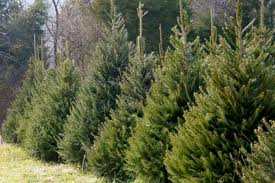 real christmas trees for sale real christmas tree prices animebgx