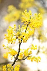 24 best sassafras trees images on sassafras tree