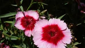 sweet william flowers how to winterize sweet william garden guides