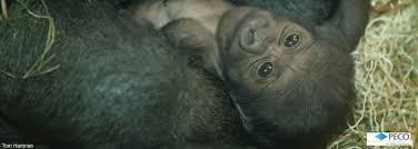 Gorilla by Baby Gorilla Philadelphia Zoo