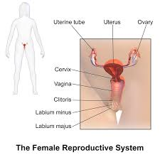 Male Body Anatomy Organs Female Reproductive System Wikipedia