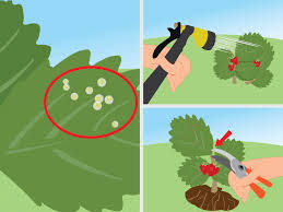 how to get rid of red spider mites organically 14 steps
