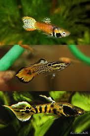 freshwater fish endler u0027s livebearer aquarium pinterest guppy aquariums and fish