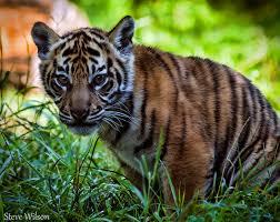 sumatran tiger wikipedia